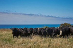 Lansdowne Farm - Cattle on Pacific edge