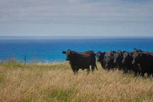 Cattle on Pacific edge